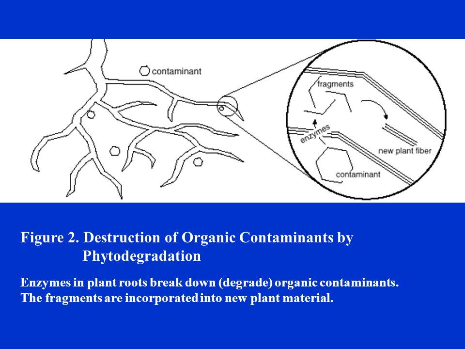 Figure 2. Destruction of Organic Contaminants by Phytodegradation Enzymes in plant roots break down (degrade) organic contaminants. The fragments are
