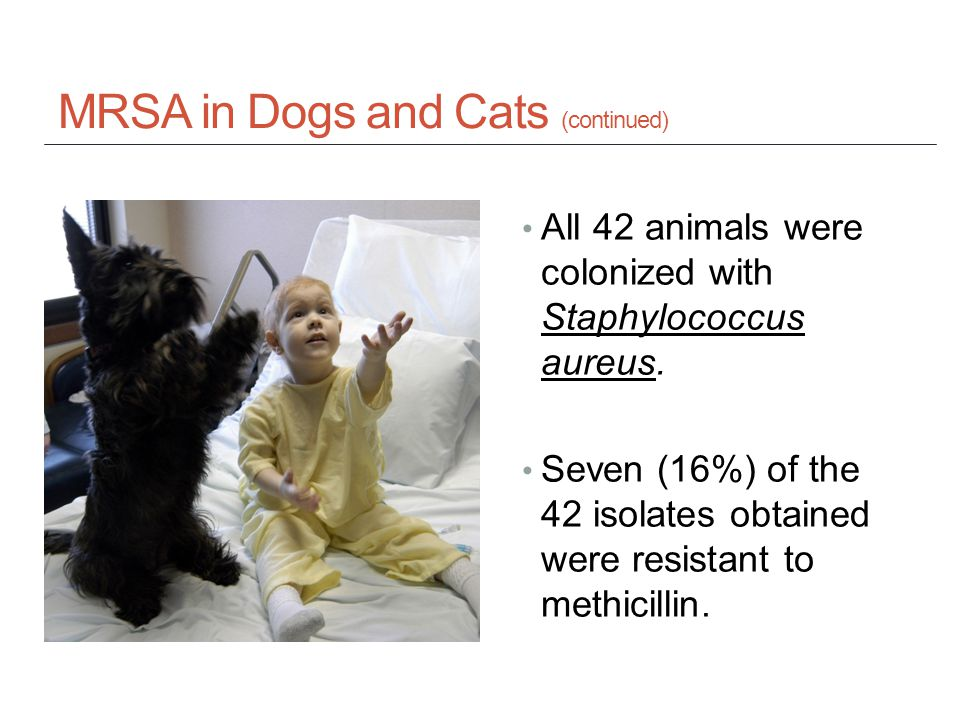 MRSA in Dogs and Cats (continued) All 42 animals were colonized with Staphylococcus aureus.