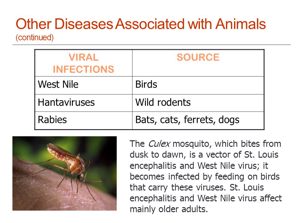 Other Diseases Associated with Animals (continued) VIRAL INFECTIONS SOURCE West NileBirds HantavirusesWild rodents RabiesBats, cats, ferrets, dogs The Culex mosquito, which bites from dusk to dawn, is a vector of St.
