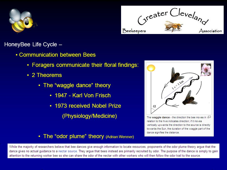 "HoneyBee Life Cycle – Communication between Bees Foragers communicate their floral findings: 2 Theorems The ""waggle dance"" theory 1947 - Karl Von Fris"