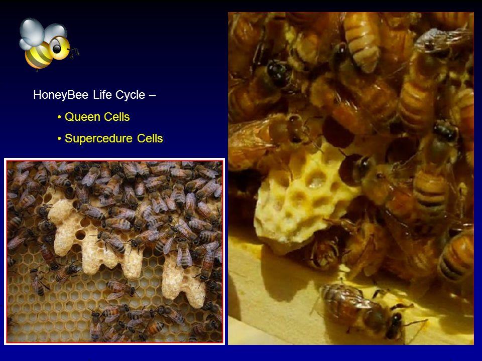 HoneyBee Life Cycle – Queen Cells Supercedure Cells