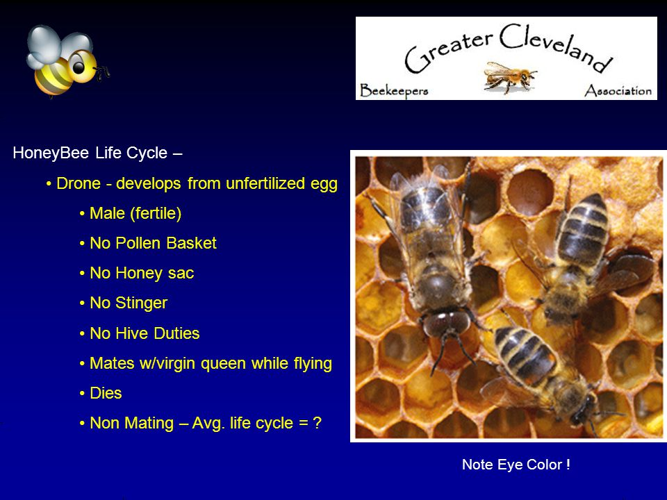 HoneyBee Life Cycle – Drone - develops from unfertilized egg Male (fertile) No Pollen Basket No Honey sac No Stinger No Hive Duties Mates w/virgin queen while flying Dies Non Mating – Avg.