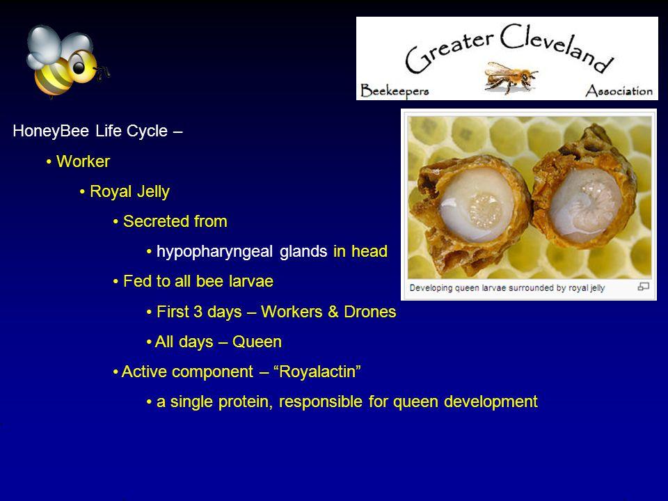 HoneyBee Life Cycle – Worker Specialization/Responsibilities