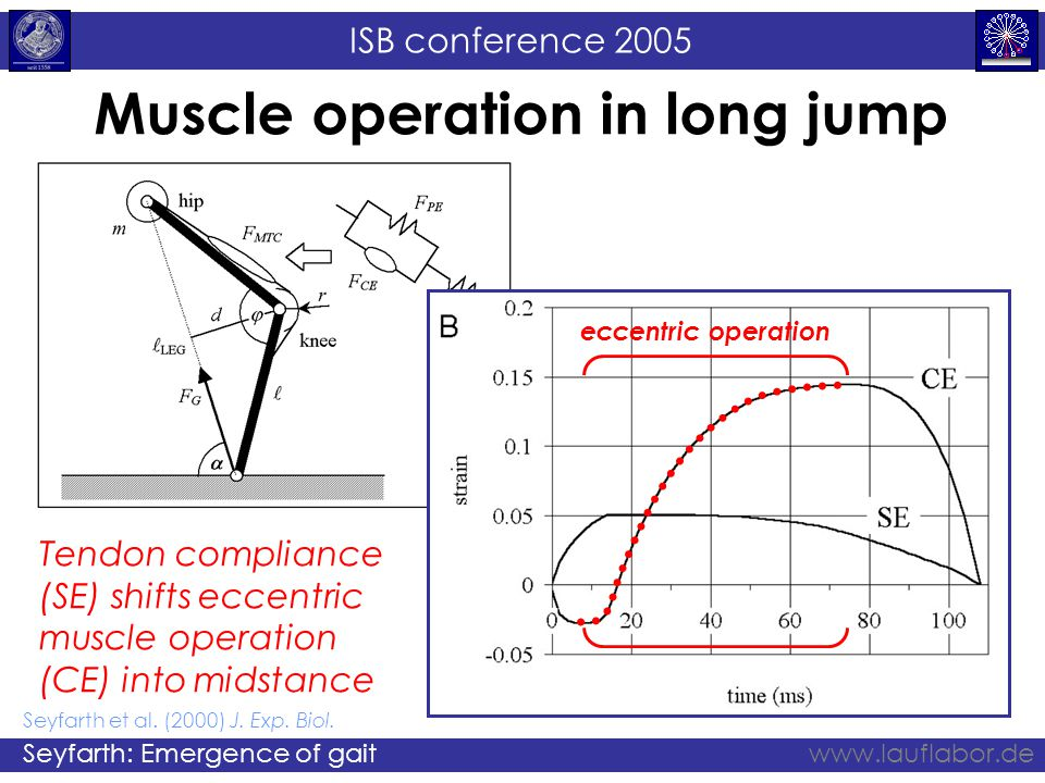 ISB conference 2005 Seyfarth: Emergence of gaitwww.lauflabor.de Muscle operation in long jump eccentric operation Tendon compliance (SE) shifts eccentric muscle operation (CE) into midstance Seyfarth et al.