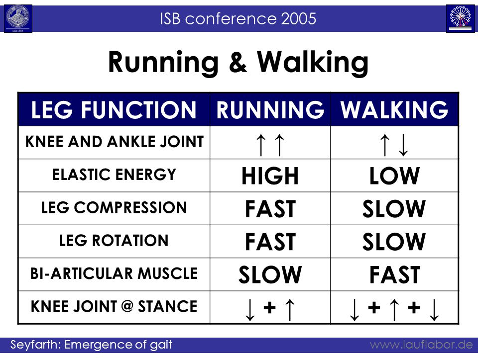 ISB conference 2005 Seyfarth: Emergence of gaitwww.lauflabor.de Running & Walking LEG FUNCTIONRUNNINGWALKING KNEE AND ANKLE JOINT ↑ ↑ ↓ ELASTIC ENERGY HIGHLOW LEG COMPRESSION FASTSLOW LEG ROTATION FASTSLOW BI-ARTICULAR MUSCLE SLOWFAST KNEE JOINT @ STANCE ↓ + ↑↓ + ↑ + ↓