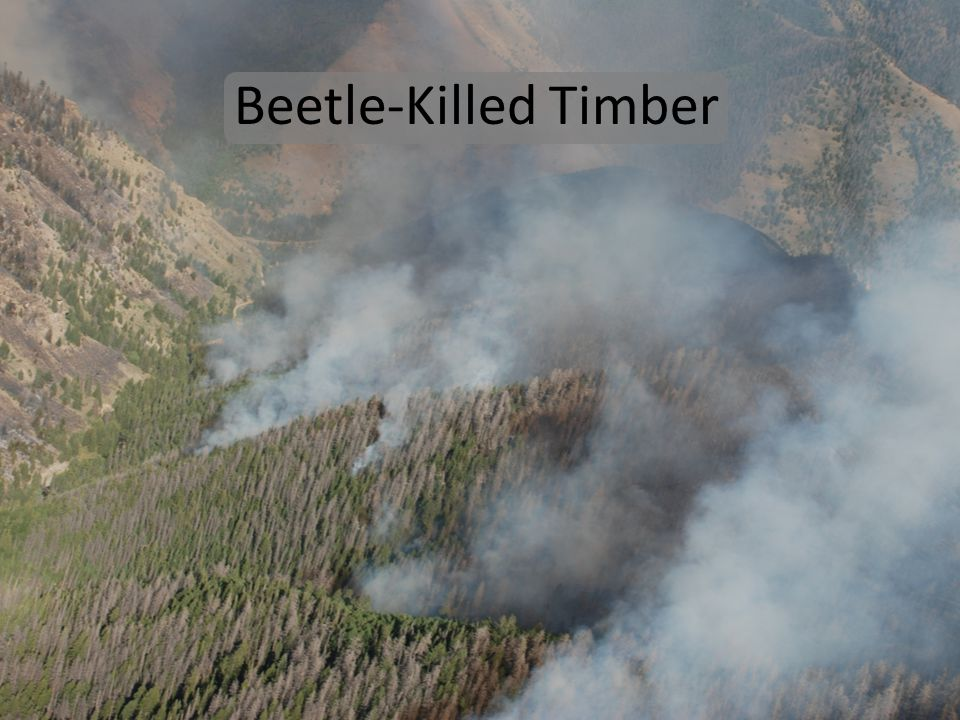 Beetle-Killed Timber