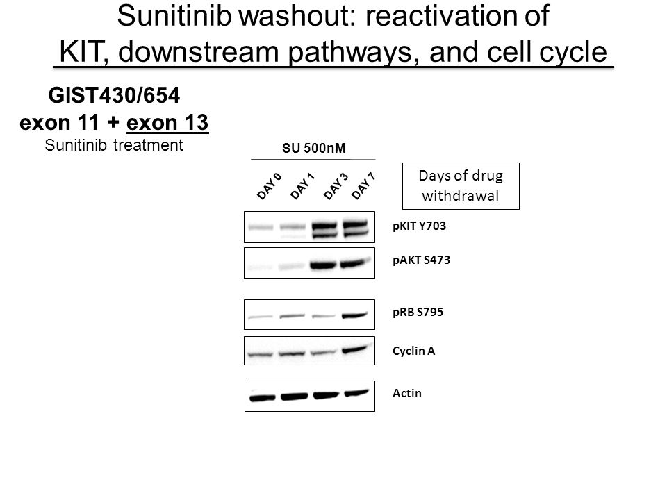 pAKT S473 pKIT Y703 DAY 0 DAY 1 DAY 3 DAY 7 SU 500nM pRB S795 Cyclin A Actin Sunitinib washout: reactivation of KIT, downstream pathways, and cell cyc