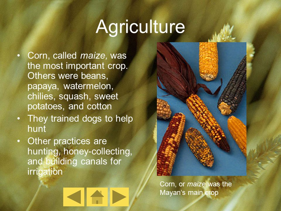Agriculture Corn, called maize, was the most important crop. Others were beans, papaya, watermelon, chilies, squash, sweet potatoes, and cotton They t