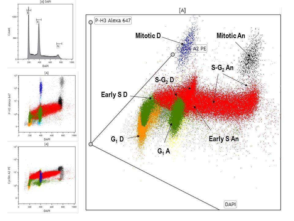 G 1 D S-G 2 D Early S D Mitotic D Early S An S-G 2 An Mitotic An G 1 A