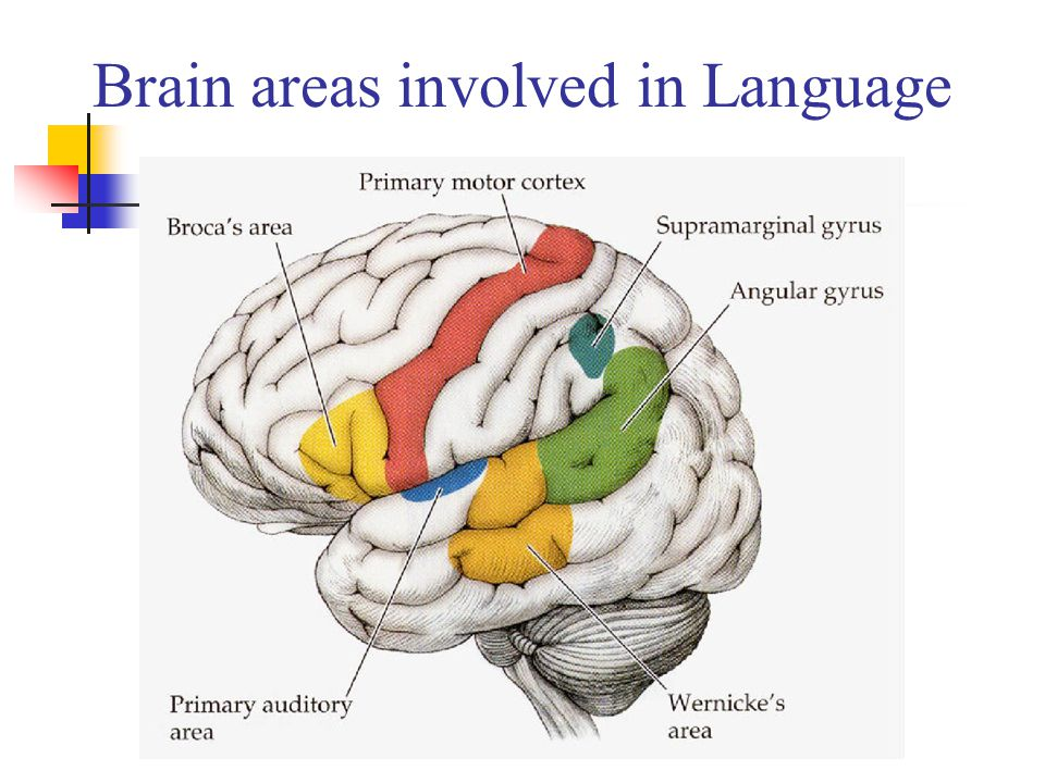 Brain areas involved in Language