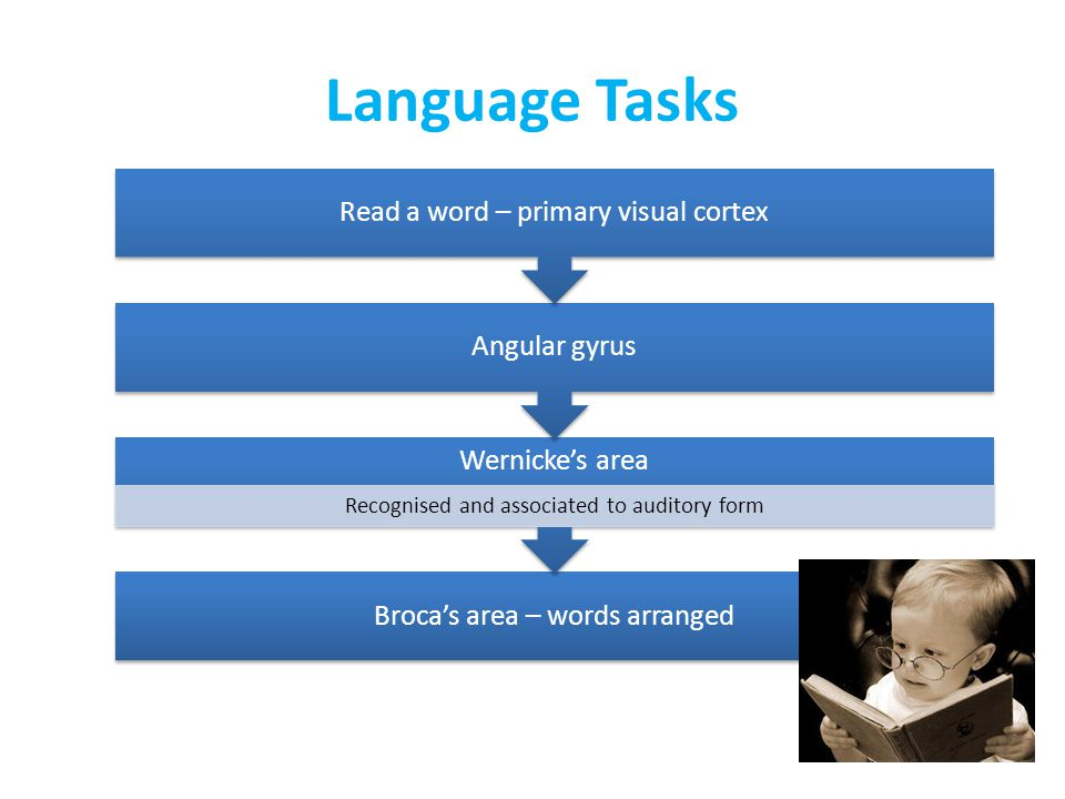 Language Tasks Broca's area – words arranged Wernicke's area Recognised and associated to auditory form Angular gyrus Read a word – primary visual cortex