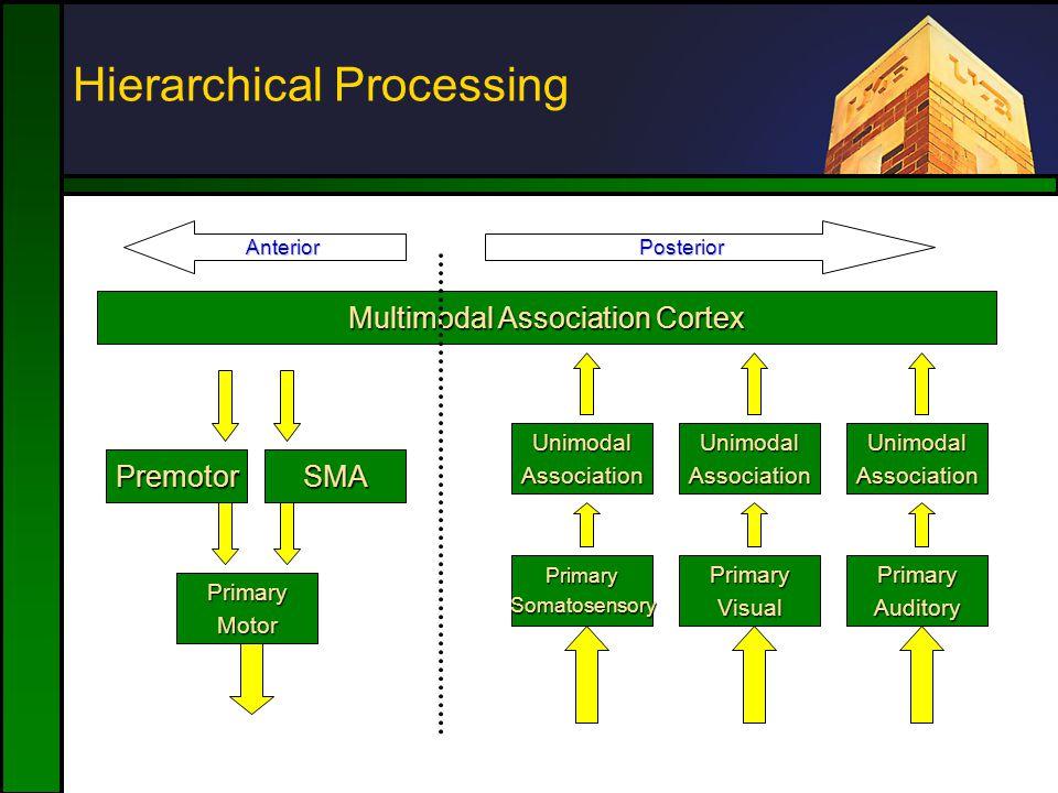 Hierarchical Processing SMAPremotor PrimaryMotor PrimarySomatosensory UnimodalAssociation Multimodal Association Cortex PrimaryVisual UnimodalAssociation PrimaryAuditory UnimodalAssociation AnteriorPosterior