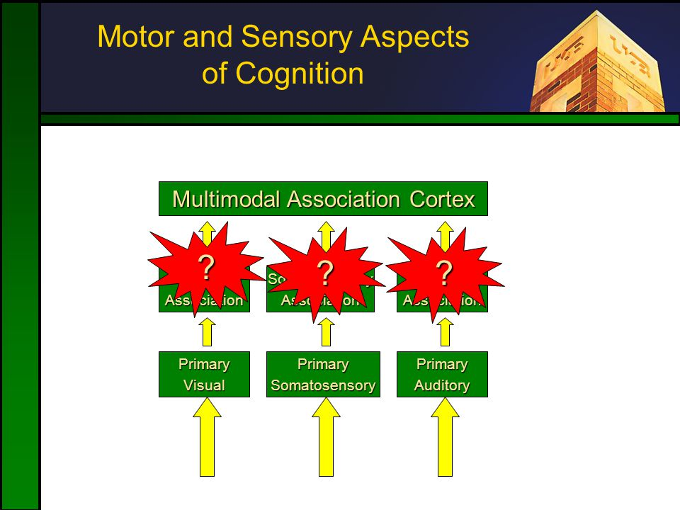 Motor and Sensory Aspects of Cognition PrimaryVisual VisualAssociation Multimodal Association Cortex PrimarySomatosensory SomatosensoryAssociation Pri