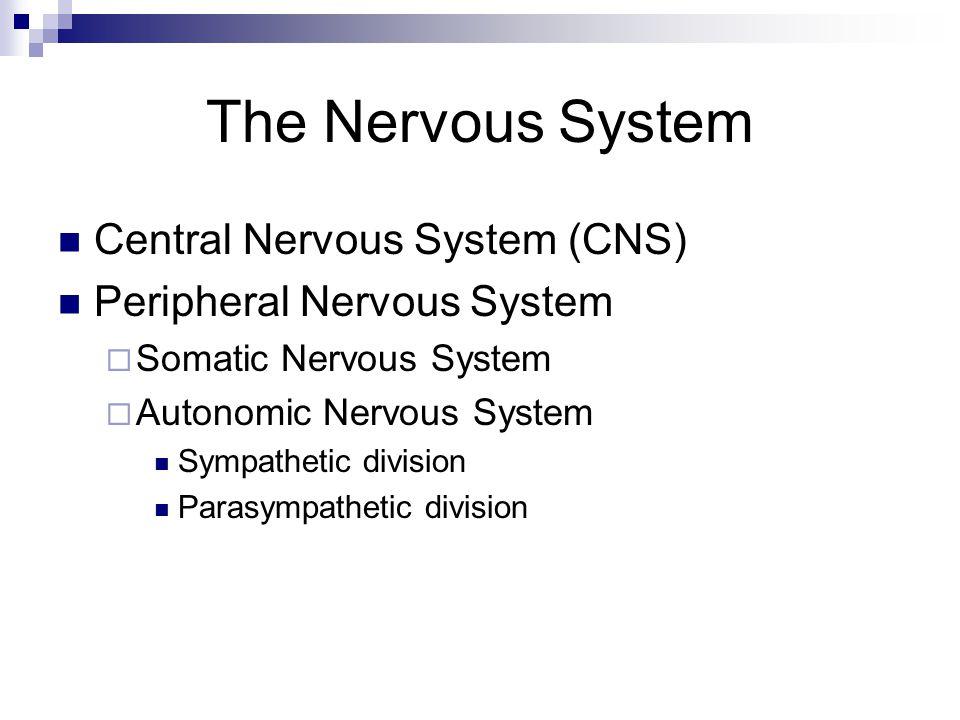 The Nervous System Central Nervous System (CNS) Peripheral Nervous System  Somatic Nervous System  Autonomic Nervous System Sympathetic division Parasympathetic division