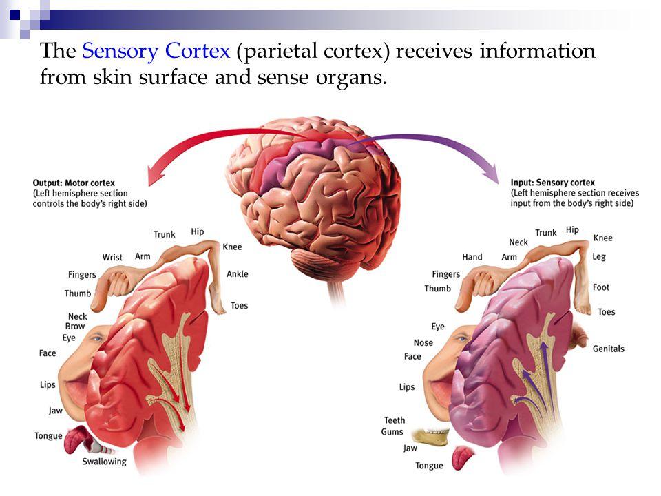 The Sensory Cortex (parietal cortex) receives information from skin surface and sense organs.