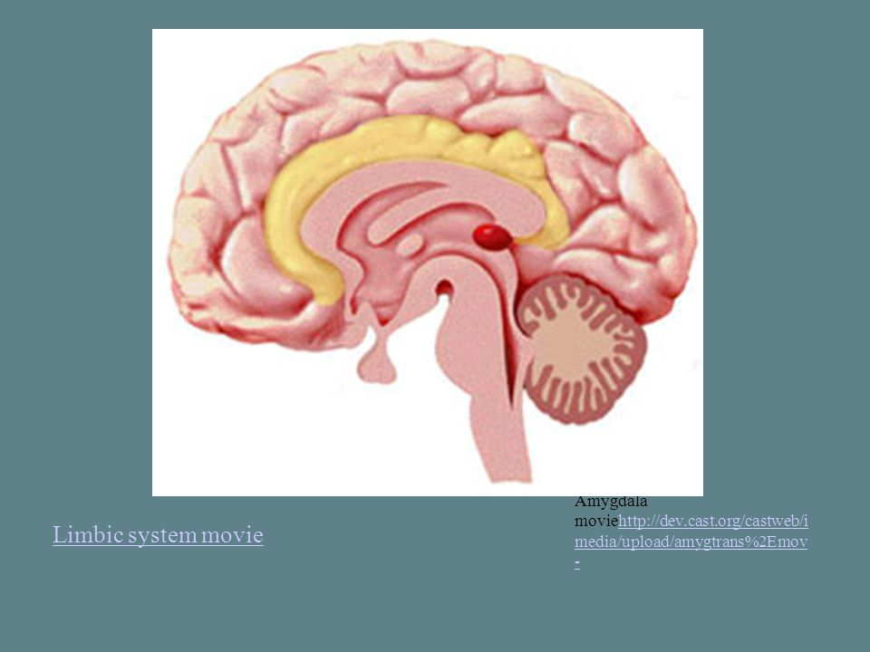 Limbic system movie Amygdala moviehttp://dev.cast.org/castweb/i media/upload/amygtrans%2Emov -http://dev.cast.org/castweb/i media/upload/amygtrans%2Emov -
