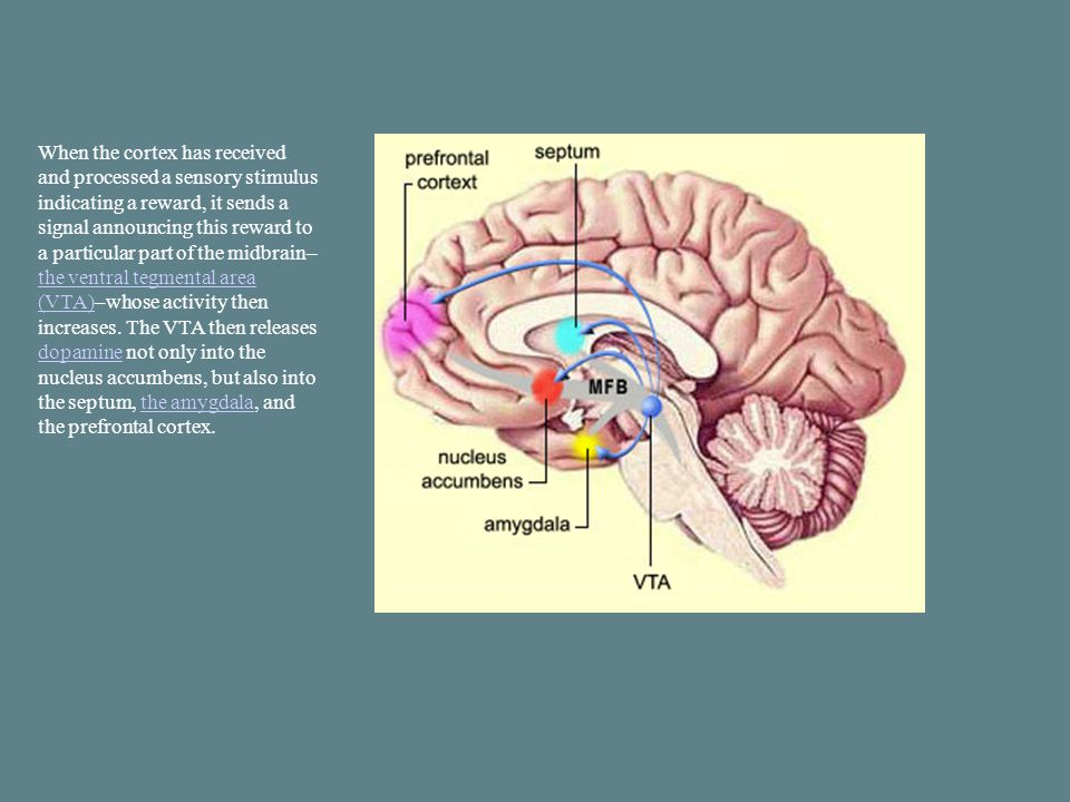 When the cortex has received and processed a sensory stimulus indicating a reward, it sends a signal announcing this reward to a particular part of the midbrain– the ventral tegmental area (VTA)–whose activity then increases.