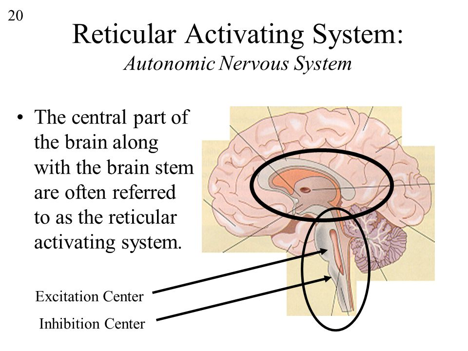 20 Reticular Activating System: Autonomic Nervous System The central part of the brain along with the brain stem are often referred to as the reticular activating system.