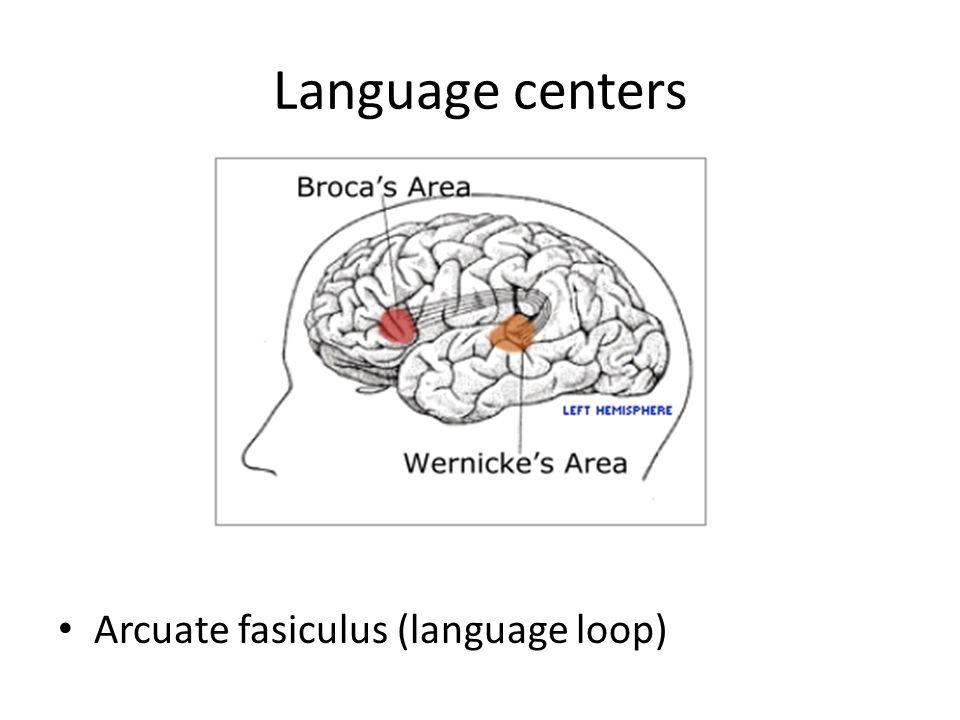 Language centers Arcuate fasiculus (language loop)
