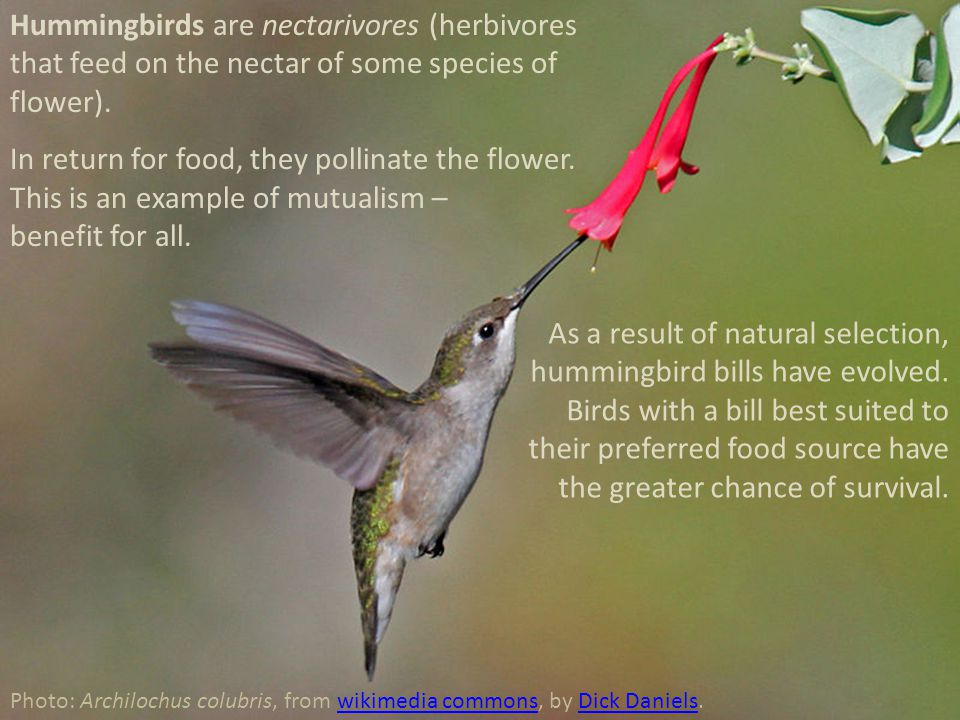 Hummingbirds are nectarivores (herbivores that feed on the nectar of some species of flower). In return for food, they pollinate the flower. This is a