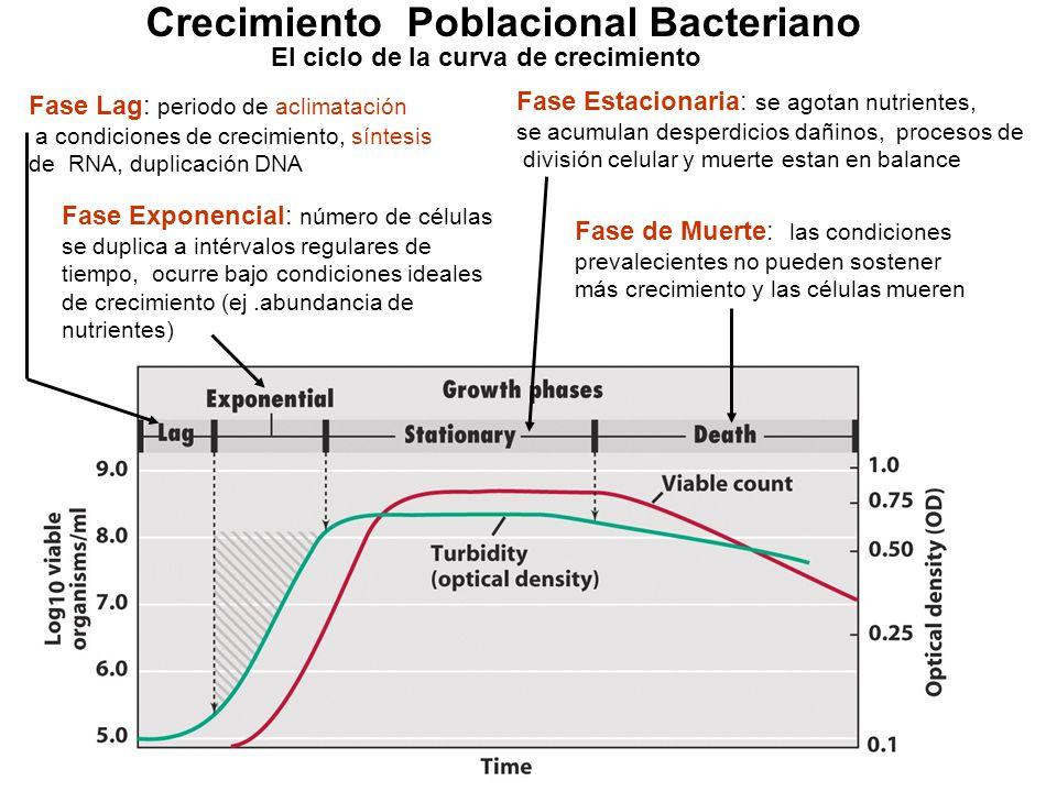 Crecimiento Poblacional Bacteriano El ciclo de la curva de crecimiento Fase Lag: periodo de aclimatación a condiciones de crecimiento, síntesis de RNA, duplicación DNA Fase Exponencial: número de células se duplica a intérvalos regulares de tiempo, ocurre bajo condiciones ideales de crecimiento (ej.abundancia de nutrientes) Fase Estacionaria: se agotan nutrientes, se acumulan desperdicios dañinos, procesos de división celular y muerte estan en balance Fase de Muerte: las condiciones prevalecientes no pueden sostener más crecimiento y las células mueren