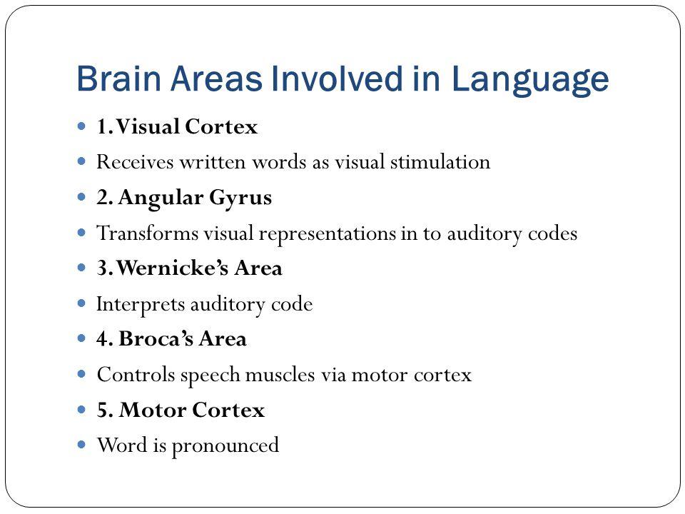 1.Visual Cortex Receives written words as visual stimulation 2.