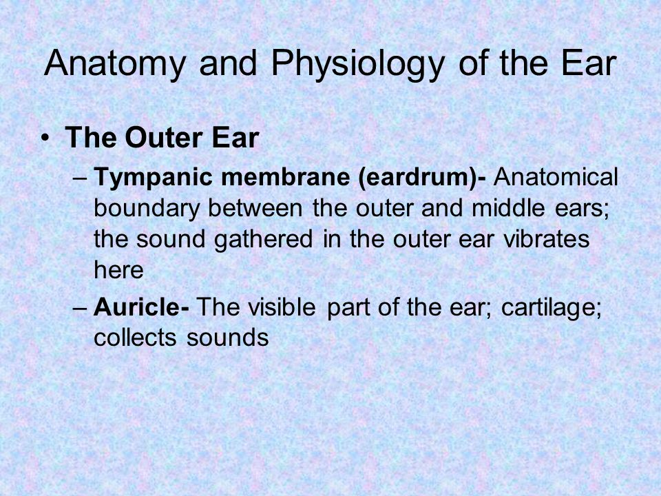 Anatomy and Physiology of the Ear The Outer Ear –Tympanic membrane (eardrum)- Anatomical boundary between the outer and middle ears; the sound gathere