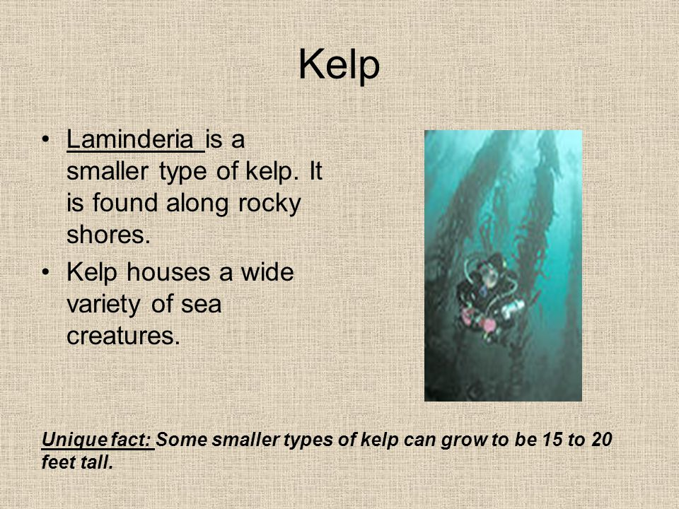 Kelp Laminderia is a smaller type of kelp.It is found along rocky shores.