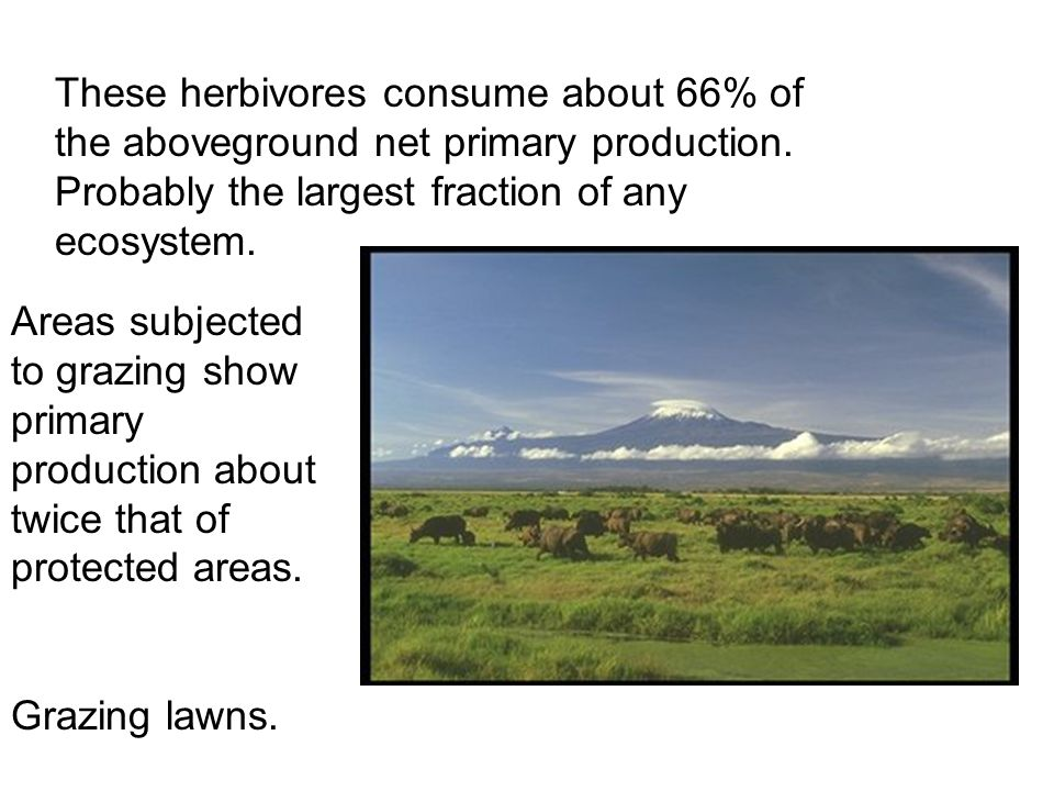 These herbivores consume about 66% of the aboveground net primary production.