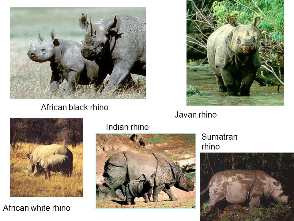 African black rhino African white rhino Indian rhino Javan rhino Sumatran rhino