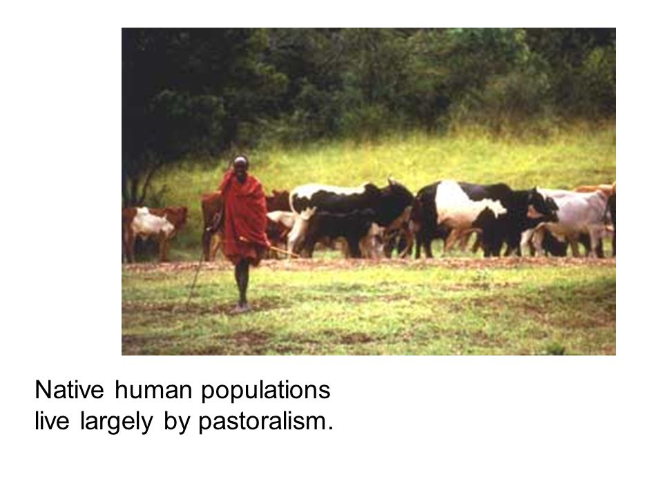 Native human populations live largely by pastoralism.