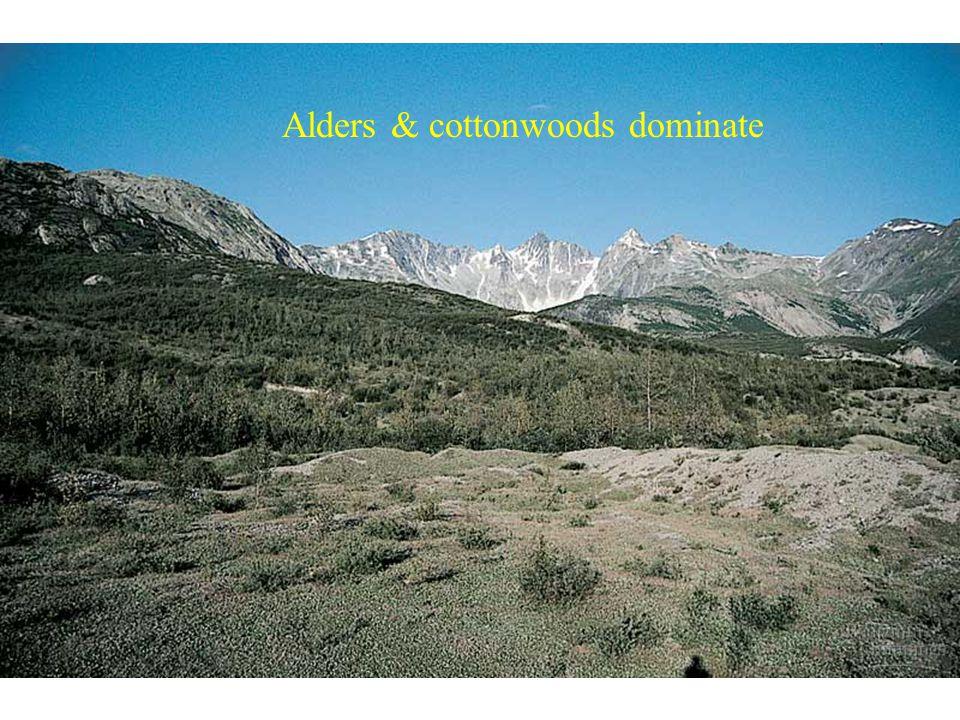 Alders & cottonwoods dominate