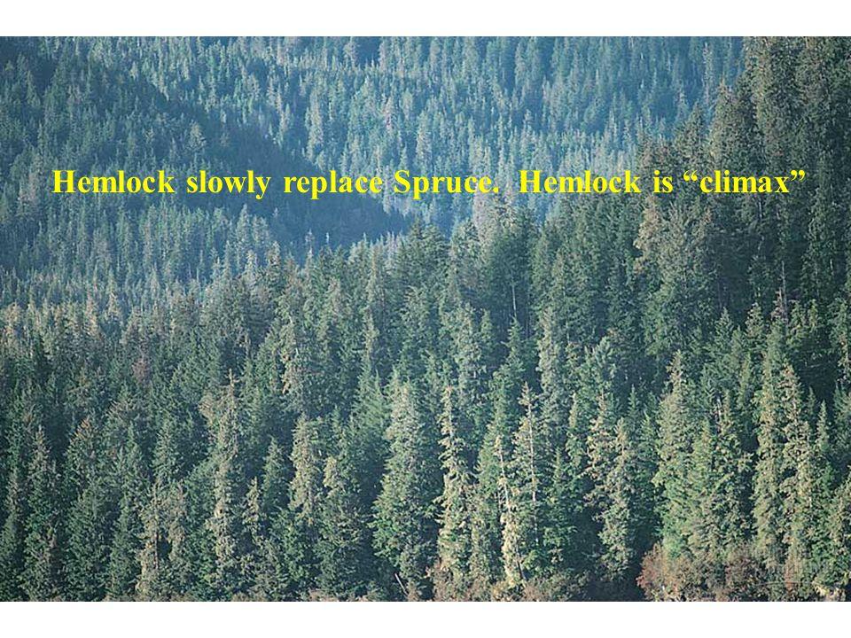 "Hemlock slowly replace Spruce. Hemlock is ""climax"""