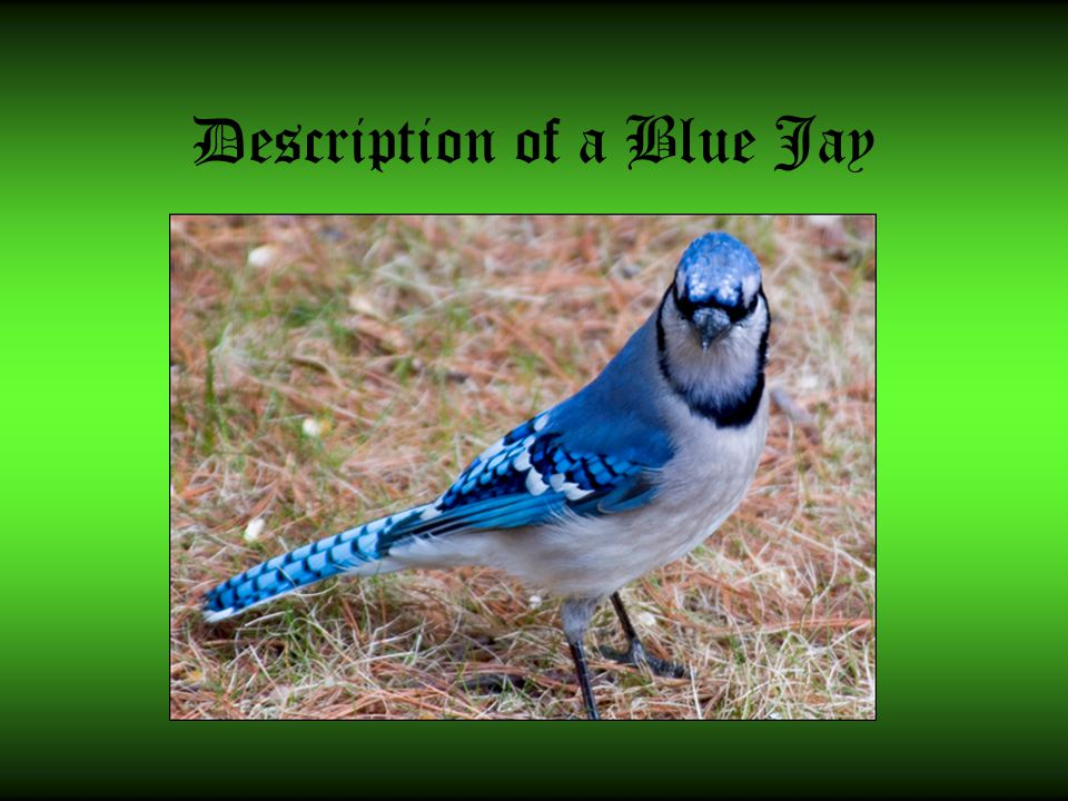 Description of a Blue Jay