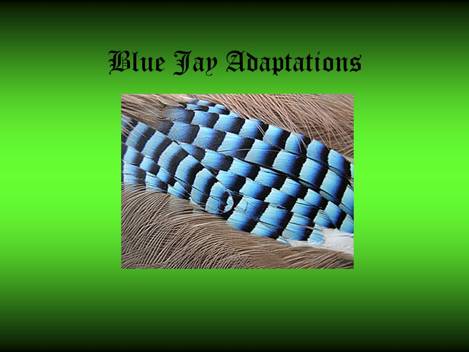 Blue Jay Adaptations