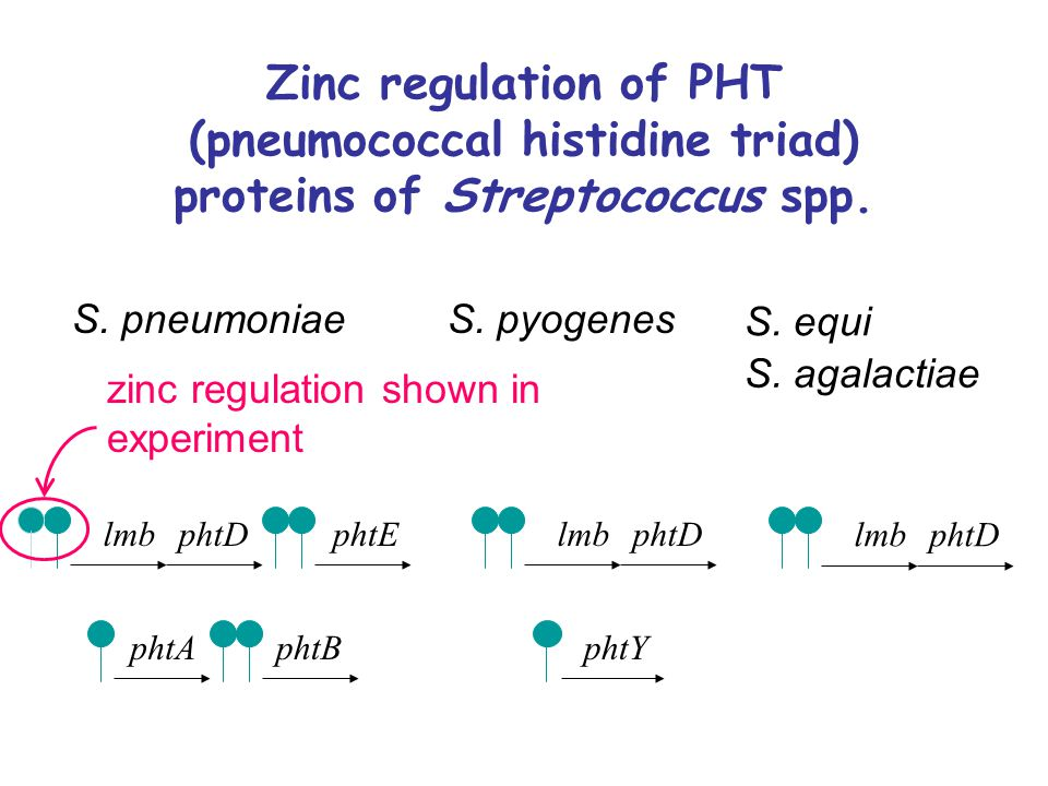 Zinc regulation of PHT (pneumococcal histidine triad) proteins of Streptococcus spp.