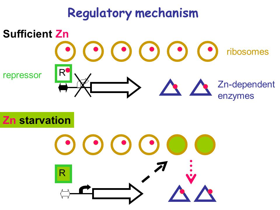Regulatory mechanism ribosomes Zn-dependent enzymes R Sufficient Zn Zn starvation R repressor