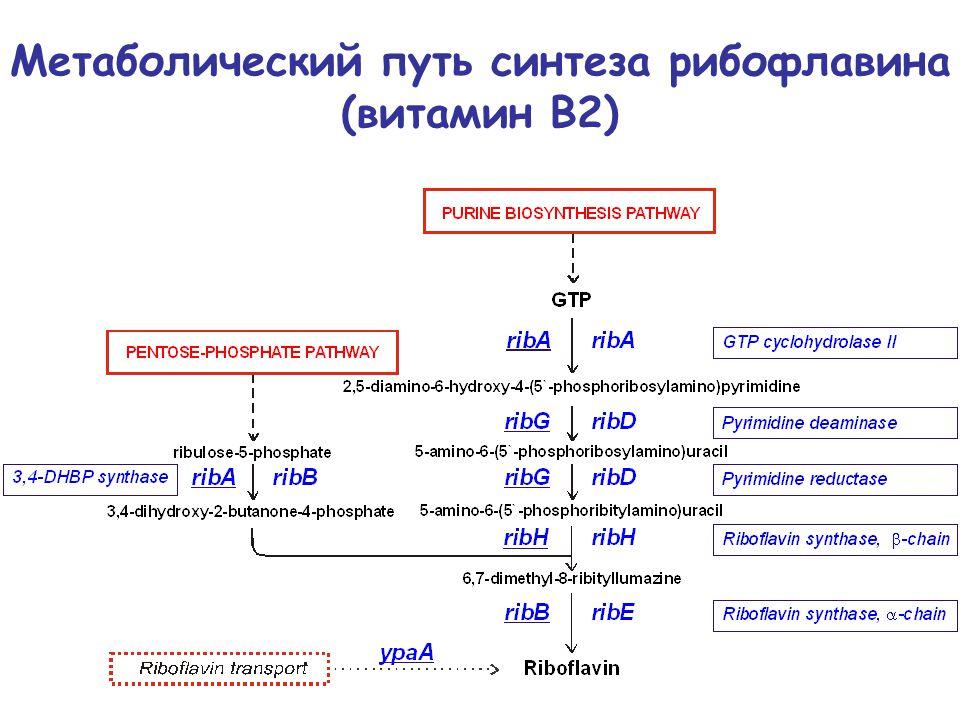 Метаболический путь синтеза рибофлавина (витамин В2)