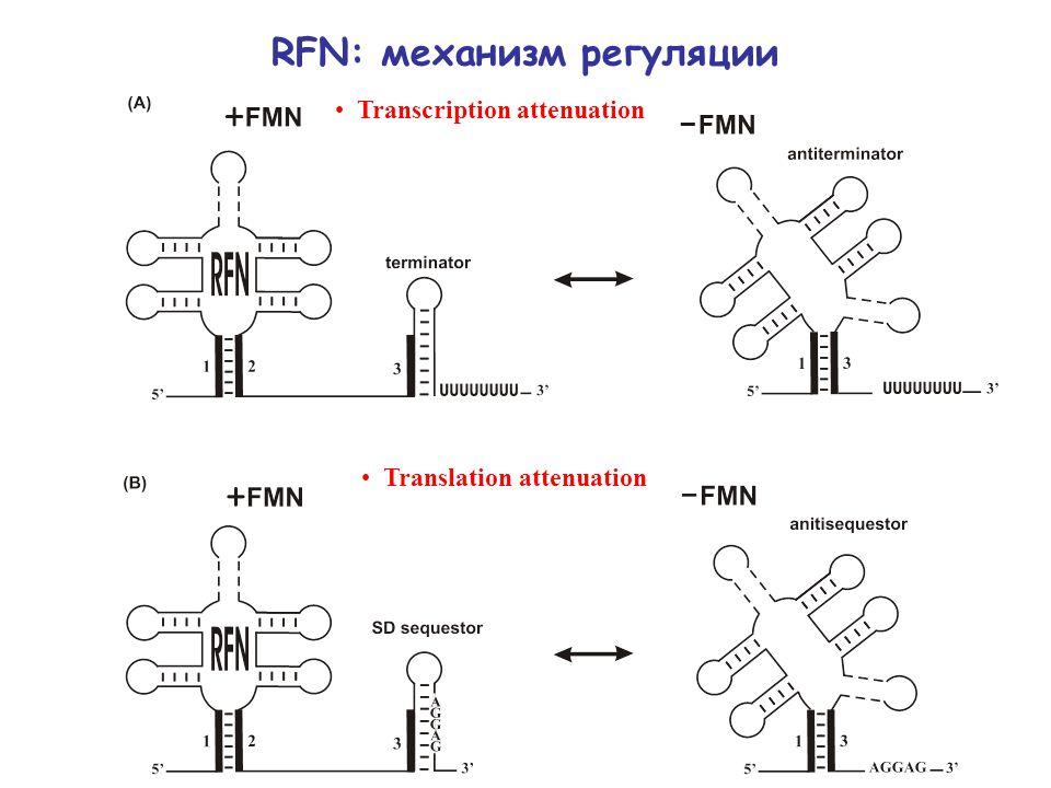 RFN: механизм регуляции Transcription attenuation Translation attenuation