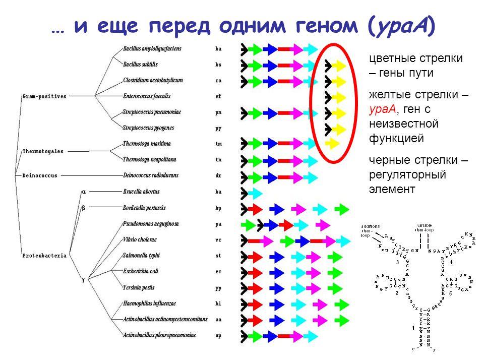 … и еще перед одним геном (ypaA) цветные стрелки – гены пути желтые стрелки – ypaA, ген с неизвестной функцией черные стрелки – регуляторный элемент