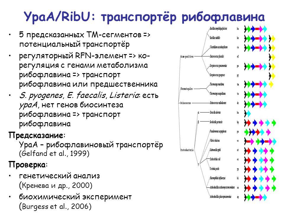 YpaA/RibU: транспортёр рибофлавина 5 предсказанных ТМ-сегментов => потенциальный транспортёр регуляторный RFN-элемент => ко- регуляция с генами метаболизма рибофлавина => транспорт рибофлавина или предшественника S.