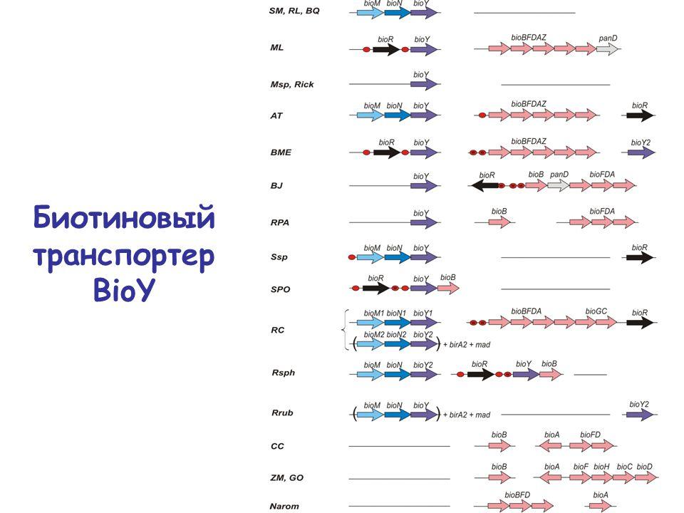 Биотиновый транспортер BioY