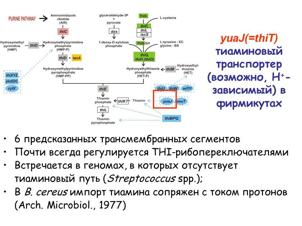 yuaJ(=thiT) тиаминовый транспортер (возможно, H + - зависимый) в фирмикутах 6 предсказанных трансмембранных сегментов Почти всегда регулируется THI-рибопереключателями Встречается в геномах, в которых отсутствует тиаминовый путь (Streptococcus spp.); В B.