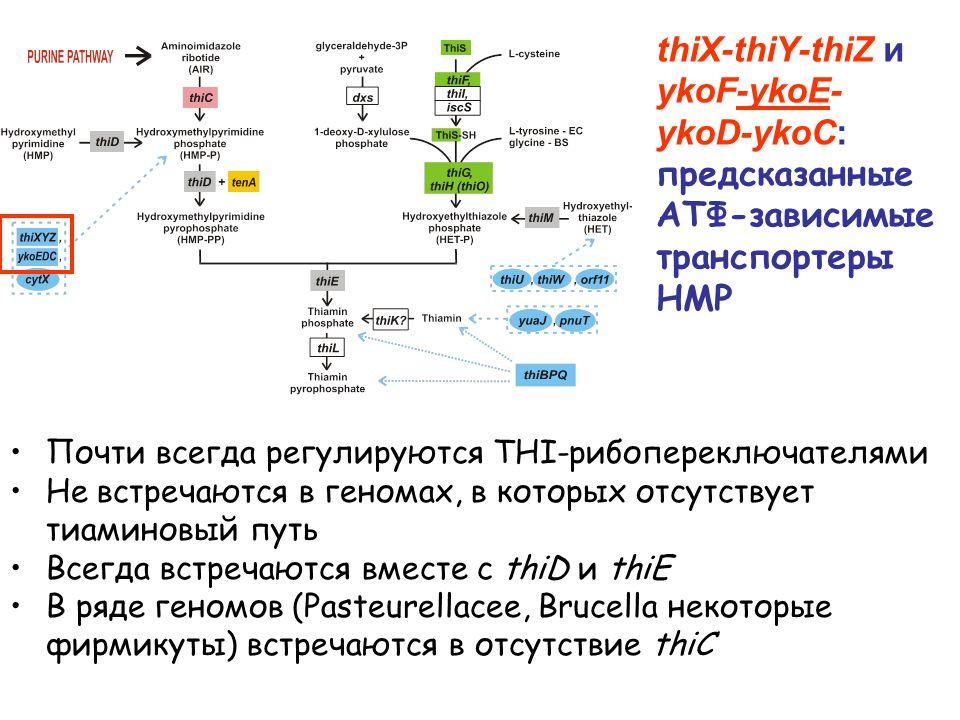 Почти всегда регулируются THI-рибопереключателями Не встречаются в геномах, в которых отсутствует тиаминовый путь Всегда встречаются вместе с thiD и thiE В ряде геномов (Pasteurellacee, Brucella некоторые фирмикуты) встречаются в отсутствие thiC thiX-thiY-thiZ и ykoF-ykoE- ykoD-ykoC: предсказанные АТФ-зависимые транспортеры HMP