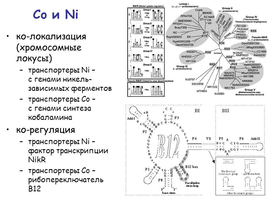 Co и Ni ко-локализация (хромосомные локусы) –транспортеры Ni – с генами никель- зависимых ферментов –транспортеры Co – с генами синтеза кобаламина ко-регуляция –транспортеры Ni – фактор транскрипции NikR –транспортеры Co – рибопереключатель В12