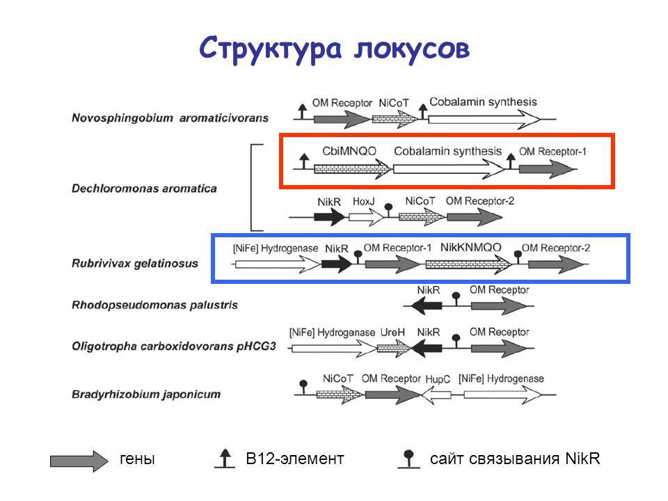 Структура локусов B12-элементсайт связывания NikRгены