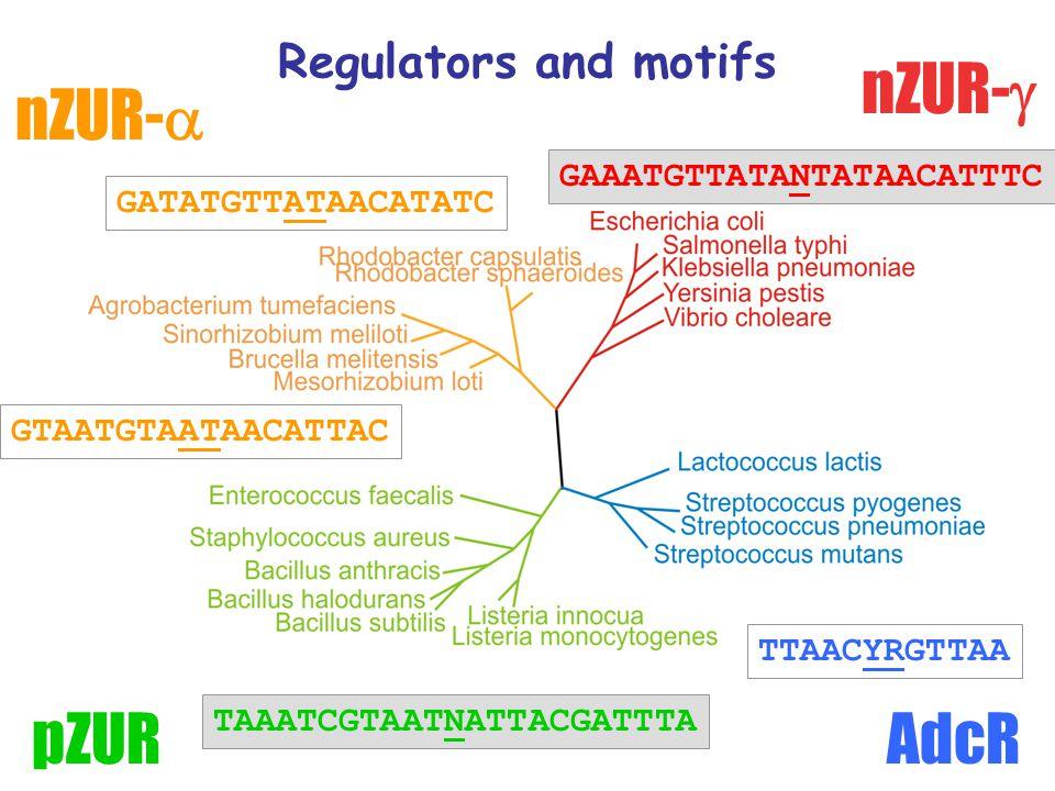 Regulators and motifs nZUR-  nZUR-  AdcRpZUR TTAACYRGTTAA GATATGTTATAACATATC GAAATGTTATANTATAACATTTC GTAATGTAATAACATTAC TAAATCGTAATNATTACGATTTA