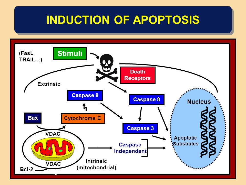 INDUCTION OF APOPTOSIS Stimuli Extrinsic Death Receptors Caspase 9 Cytochrome C Nucleus Intrinsic (mitochondrial) VDAC Bcl-2 Bax Caspase 3 Caspase 8 A