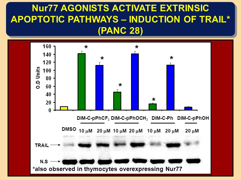 Nur77 AGONISTS ACTIVATE EXTRINSIC APOPTOTIC PATHWAYS – INDUCTION OF TRAIL* (PANC 28) DIM-C-pPhCF 3 DIM-C-pPhOCH 3 DIM-C-PhDIM-C-pPhOH DMSO 10  M20  M10  M20  M10  M20  M TRAIL N.S * * * * * * *also observed in thymocytes overexpressing Nur77