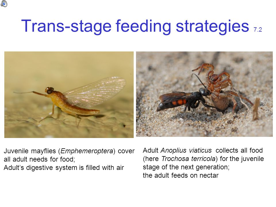 Trans-stage feeding strategies 7.2 Juvenile mayflies (Emphemeroptera) cover all adult needs for food; Adult's digestive system is filled with air Adult Anoplius viaticus collects all food (here Trochosa terricola) for the juvenile stage of the next generation; the adult feeds on nectar